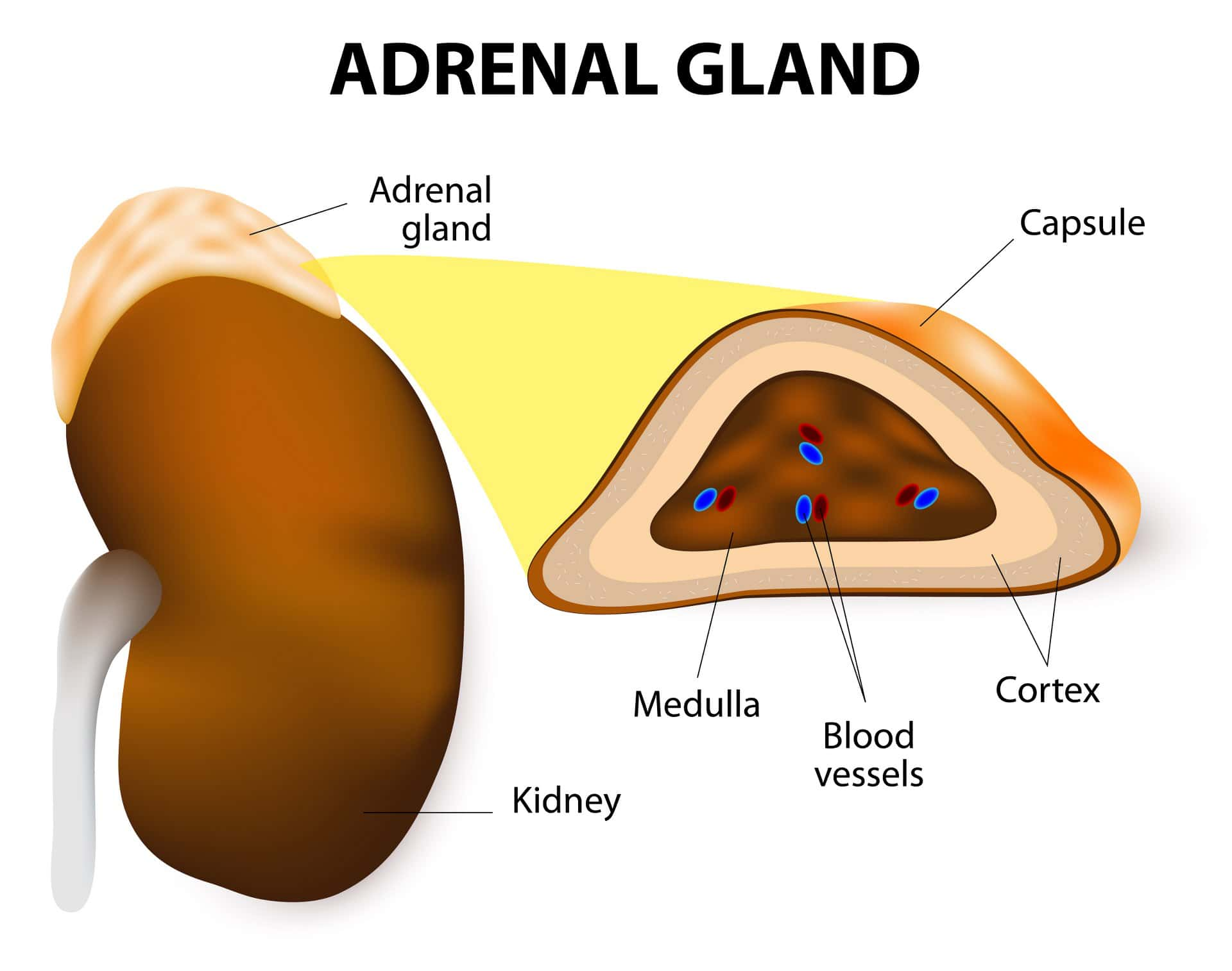 Adrenal Hormones And Your Health Holistic Icon